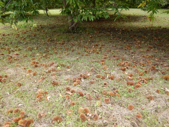 木の下は栗だらけ