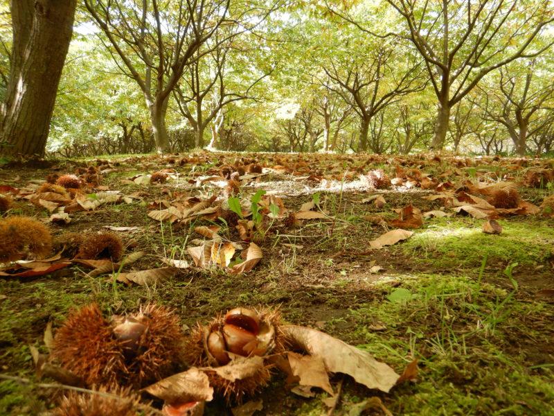 木漏れ日の栗