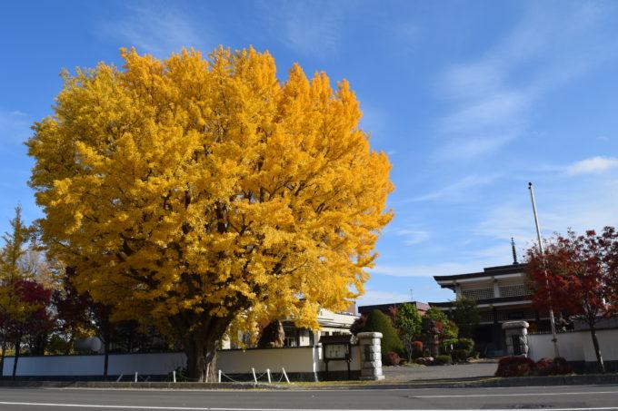 龍雲寺にあるイチョウの黄葉
