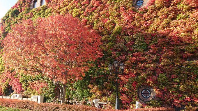 サッポロファクトリーレンガ館のツタ紅葉の見頃時間