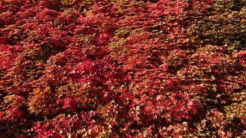 壁一面がツタの葉で覆われています