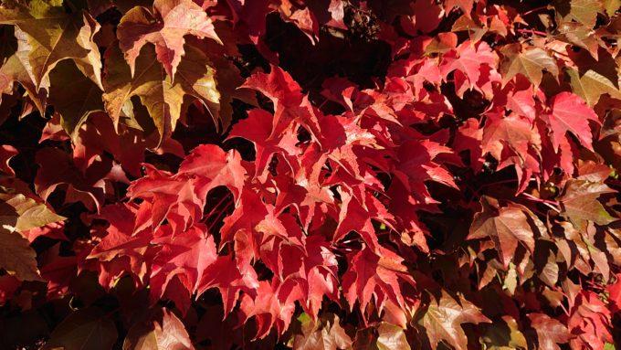真っ赤に色づいたツタの葉