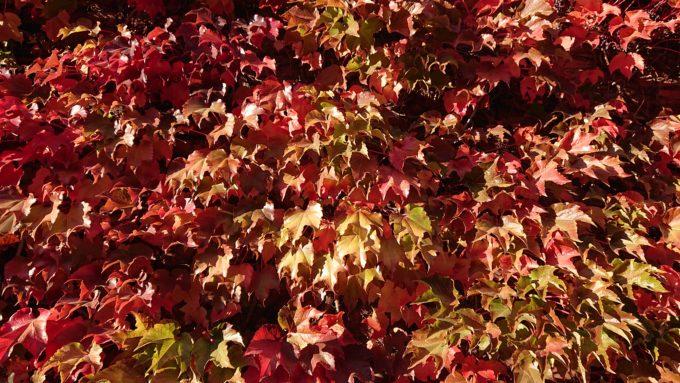 サッポロファクトリーレンガ館の緑と赤が混在するツタ