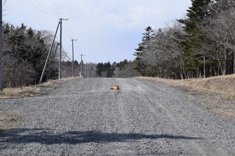 道路の真ん中でキタキツネが休憩